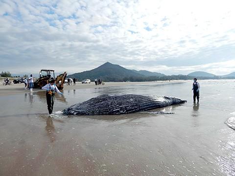 Foto: Coordenação do Protocolo de Encalhes da APA da Baleia Franca/ICMBio/Divulgação