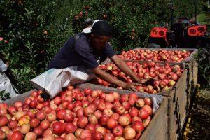 Santa Catarina terá uma das melhores safras de maçã da história