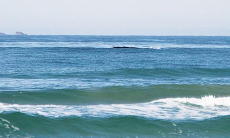 Baleias francas monitoramento por terra é realizado
