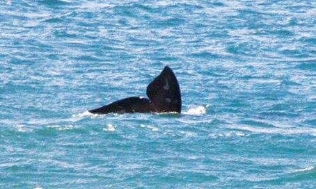 Baleias francas são avistadas na região